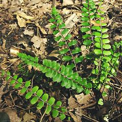 Leaf: Asplenium trichomanes. ~ By Glen Mittelhauser. ~ Copyright © 2020 Glen Mittelhauser. ~ www.mainenaturalhistory.org