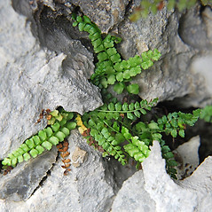 Detail of leaf and/or divisions: Asplenium viride. ~ By Ryan Batten. ~ Copyright © 2020. ~ ryanbatten2.0[at]gmail.com ~ CalPhotos - calphotos.berkeley.edu/flora/