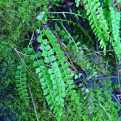 Leaf: Asplenium viride. ~ By Arthur Haines. ~ Copyright © 2021. ~ arthurhaines[at]wildblue.net