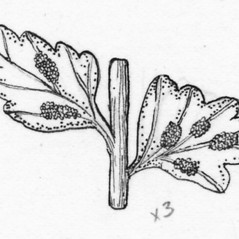 Sori: Asplenium viride. ~ By Tess Feltes. ~  Public Domain. ~  ~ U. of New Hampshire