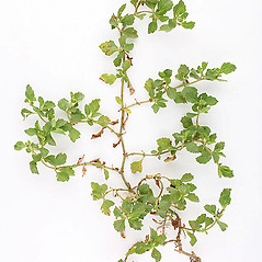 Plant form: Acanthospermum australe. ~ By John Kunzer. ~ Copyright © 2020 University of South Florida. ~ Requests for image use not currently accepted by copyright holder ~ Atlas of Florida Vascular Plants - florida.plantatlas.usf.edu/Default.aspx