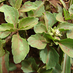Leaves: Acanthospermum australe. ~ By Kim Starr. ~ Copyright © 2020 CC BY 3.0. ~ starrimages[at]hear.org ~ Plants of Hawaii - www.hear.org/starr/images/?o=plants