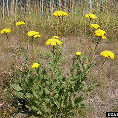 Plant form: Achillea filipendulina. ~ By Jamie Nielsen. ~ Copyright © 2020 CC BY-NC 3.0. ~  ~ Bugwood - www.bugwood.org/