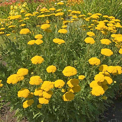 Plant form: Achillea filipendulina. ~ By Charles Brun. ~ Copyright © 2020. ~ brunc[at]wsu.edu ~ Pacific Northwest Plants - www.pnwplants.wsu.edu/