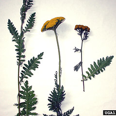 Leaves: Achillea filipendulina. ~ By Michael Shephard. ~ Copyright © 2020 CC BY-NC 3.0. ~  ~ Bugwood - www.bugwood.org/