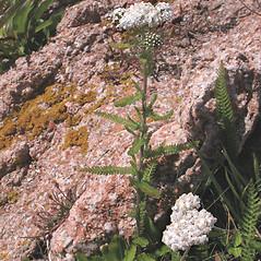 Plant form: Achillea millefolium. ~ By Marilee Lovit. ~ Copyright © 2021 Marilee Lovit. ~ lovitm[at]gmail.com