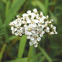 Flowers: Achillea millefolium. ~ By Glen Mittelhauser. ~ Copyright © 2021 Glen Mittelhauser. ~ www.mainenaturalhistory.org