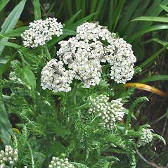 Plant form: Achillea millefolium. ~ By Glen Mittelhauser. ~ Copyright © 2021 Glen Mittelhauser. ~ www.mainenaturalhistory.org