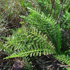 Leaves: Achillea millefolium. ~ By Arthur Haines. ~ Copyright © 2020. ~ arthurhaines[at]wildblue.net
