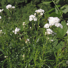 Plant form: Achillea ptarmica. ~ By Marilee Lovit. ~ Copyright © 2020 Marilee Lovit. ~ lovitm[at]gmail.com