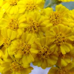 Flowers: Achillea tomentosa. ~ By Mihai Costea. ~ Copyright © 2020 Mihai Costea. ~ Wilfred Laurier University, mcostea[at]wlu.ca   ~ Pytoimages, www.phytoimages.siu.edu