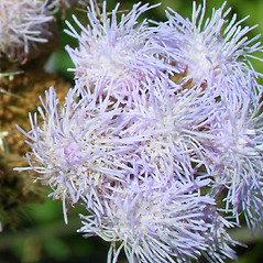 Flowers: Ageratum houstonianum. ~ By Forest & Kim Starr. ~ Copyright © 2020 CC BY-NC 3.0. ~  ~ Bugwood - www.bugwood.org/