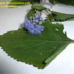Leaves: Ageratum houstonianum. ~ By Gilbert Fitzgerald. ~ Copyright © 2020 University of South Florida. ~ Requests for image use not currently accepted by copyright holder ~ Atlas of Florida Vascular Plants - florida.plantatlas.usf.edu/Default.aspx