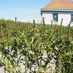 Plant form: Ambrosia artemisiifolia. ~ By Glen Mittelhauser. ~ Copyright © 2020 Glen Mittelhauser. ~ www.mainenaturalhistory.org