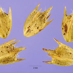 Fruits: Ambrosia bidentata. ~ By Steve Hurst. ~  Public Domain. ~  ~ USDA-NRCS Plants Database - plants.usda.gov/java/