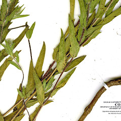 Leaves: Ambrosia bidentata. ~ By CONN Herbarium. ~ Copyright © 2021 CONN Herbarium. ~ Requests for image use not currently accepted by copyright holder ~ U. of Connecticut Herbarium - bgbaseserver.eeb.uconn.edu/
