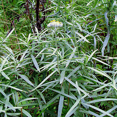 Plant form: Anaphalis margaritacea. ~ By Arthur Haines. ~ Copyright © 2021. ~ arthurhaines[at]wildblue.net