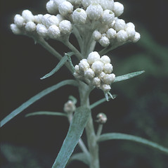 Plant form: Anaphalis margaritacea. ~ By Adelaide Pratt. ~ Copyright © 2021 New England Wild Flower Society. ~ Image Request, images[at]newenglandwild.org