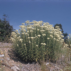 Plant form: Anaphalis margaritacea. ~ By Frank Bramley. ~ Copyright © 2021 New England Wild Flower Society. ~ Image Request, images[at]newenglandwild.org