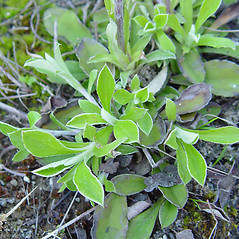 Leaves: Antennaria howellii. ~ By Arthur Haines. ~ Copyright © 2019. ~ arthurhaines[at]wildblue.net