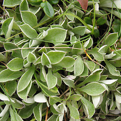 Leaves: Antennaria neglecta. ~ By Marilee Lovit. ~ Copyright © 2021 Marilee Lovit. ~ lovitm[at]gmail.com