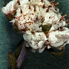 Flowers: Antennaria parlinii. ~ By W.H. Wagner. ~ Copyright © 2020 University of Michigan Herbarium. ~ No permission needed for non-commercial uses, with proper credit ~ U. of Michigan Herbarium - herbarium.lsa.umich.edu/