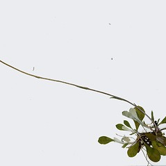 Plant form: Antennaria parlinii. ~ By CONN Herbarium. ~ Copyright © 2020 CONN Herbarium. ~ Requests for image use not currently accepted by copyright holder ~ U. of Connecticut Herbarium - bgbaseserver.eeb.uconn.edu/