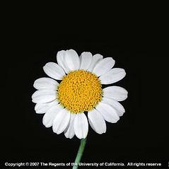Flowers: Anthemis arvensis. ~ By Joseph DiTomaso. ~ Copyright © 2021 CC BY-NC 3.0. ~  ~ Bugwood - www.bugwood.org/