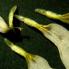 Fruits: Anthemis arvensis. ~ By Ben Legler. ~ Copyright © 2021 Ben Legler. ~ mountainmarmot[at]hotmail.com ~ U. of Washington - WTU - Herbarium - biology.burke.washington.edu/herbarium/imagecollection.php