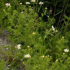 Plant form: Anthemis arvensis. ~ By Ben Legler. ~ Copyright © 2021 Ben Legler. ~ mountainmarmot[at]hotmail.com ~ U. of Washington - WTU - Herbarium - biology.burke.washington.edu/herbarium/imagecollection.php