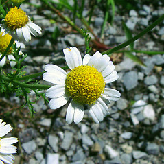 Flowers: Anthemis cotula. ~ By Arthur Haines. ~ Copyright © 2021. ~ arthurhaines[at]wildblue.net