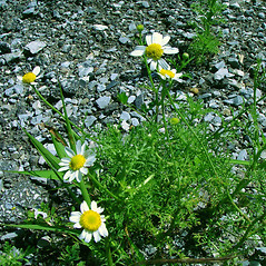 Plant form: Anthemis cotula. ~ By Arthur Haines. ~ Copyright © 2021. ~ arthurhaines[at]wildblue.net