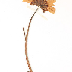 Flowers: Arctanthemum arcticum. ~ By Amherst College Herbarium. ~ Copyright © 2021 Amherst College Herbarium. ~ Amherst College Herbarium