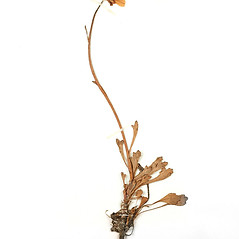 Plant form: Arctanthemum arcticum. ~ By Amherst College Herbarium. ~ Copyright © 2021 Amherst College Herbarium. ~ Amherst College Herbarium