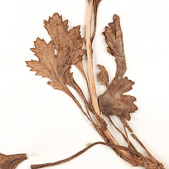 Leaves: Arctanthemum arcticum. ~ By Amherst College Herbarium. ~ Copyright © 2020 Amherst College Herbarium. ~ Amherst College Herbarium