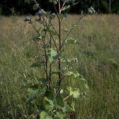 Plant form: Arctium tomentosum. ~ By Henriette Kress. ~ Copyright © 2020 Photo copyright Henriette Kress, http://www.henriettesherbal.com. ~  ~ www.henriettesherbal.com