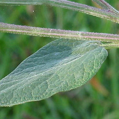 Leaves: Arctium tomentosum. ~ By Robert Flogaus-Faust. ~ Copyright © 2020 Robert Flogaus-Faust. ~ http://www.flogaus-faust.de/bc/mail.htm ~ Fotografien von Wildpflanzen - www.flogaus-faust.de