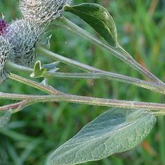 Stems: Arctium tomentosum. ~ By Robert Flogaus-Faust. ~ Copyright © 2020 Robert Flogaus-Faust. ~ http://www.flogaus-faust.de/bc/mail.htm ~ Fotografien von Wildpflanzen - www.flogaus-faust.de