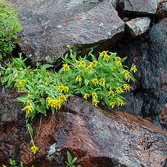 Plant form: Arnica lanceolata. ~ By Arthur Haines. ~ Copyright © 2021. ~ arthurhaines[at]wildblue.net