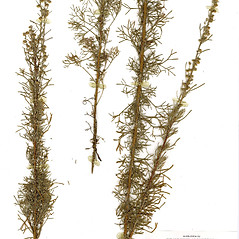 Plant form: Artemisia abrotanum. ~ By CONN Herbarium. ~ Copyright © 2020 CONN Herbarium. ~ Requests for image use not currently accepted by copyright holder ~ U. of Connecticut Herbarium - bgbaseserver.eeb.uconn.edu/