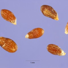 Fruits: Artemisia dracunculus. ~ By Steve Hurst. ~  Public Domain. ~  ~ USDA-NRCS Plants Database - plants.usda.gov/java/