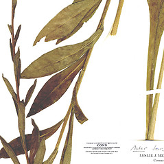 Leaves: Aster tataricus. ~ By CONN Herbarium. ~ Copyright © 2020 CONN Herbarium. ~ Requests for image use not currently accepted by copyright holder ~ U. of Connecticut Herbarium - bgbaseserver.eeb.uconn.edu/