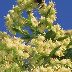 Flowers: Baccharis halimifolia. ~ By Alexey Zinovjev. ~ Copyright © 2020. ~ webmaster[at]salicicola.com ~ Salicicola - www.salicicola.com/