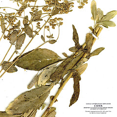 Leaves: Balsamita major. ~ By CONN Herbarium. ~ Copyright © 2021 CONN Herbarium. ~ Requests for image use not currently accepted by copyright holder ~ U. of Connecticut Herbarium - bgbaseserver.eeb.uconn.edu/