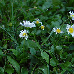 Plant form: Bellis perennis. ~ By Arthur Haines. ~ Copyright © 2021. ~ arthurhaines[at]wildblue.net