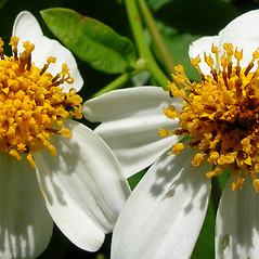 Flowers: Bidens alba. ~ By Kim Starr. ~ Copyright © 2021 CC BY 3.0. ~ starrimages[at]hear.org ~ Plants of Hawaii - www.hear.org/starr/images/?o=plants