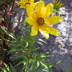 Plant form: Bidens aristosa. ~ By Janet Novak. ~ Copyright © 2020 Janet Novak. ~ Requests for image use not currently accepted by copyright holder ~ Connecticut Botanical Society - www.ct-botanical-society.org/