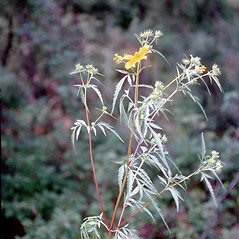 Leaves: Bidens aristosa. ~ By Carol Levine. ~ Copyright © 2021 Carol Levine. ~ carolflora[at]optonline.net