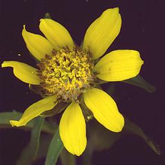 Flowers: Bidens cernua. ~ By Glen Mittelhauser. ~ Copyright © 2020 Glen Mittelhauser. ~ www.mainenaturalhistory.org