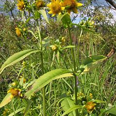 Plant form: Bidens cernua. ~ By Marilee Lovit. ~ Copyright © 2020 Marilee Lovit. ~ lovitm[at]gmail.com